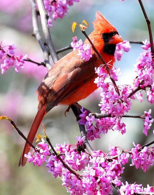 cardinal w spring flowers