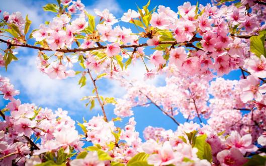 cherry-blossom-spring-flower